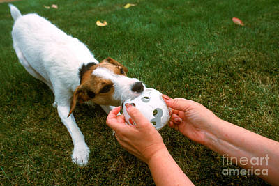 Jack Russell Terrier Poster by Jim Corwin