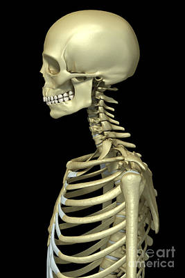 Bones Of The Upper Body Poster by Science Picture Co