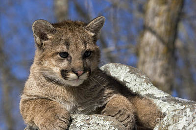 Cougar Cub Poster by Linda Freshwaters Arndt