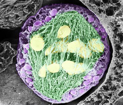 Dividing Pollen Cell Poster by Professor T. Naguro