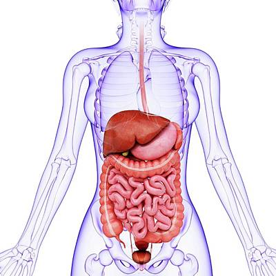 Human Digestive System Poster by Pixologicstudio