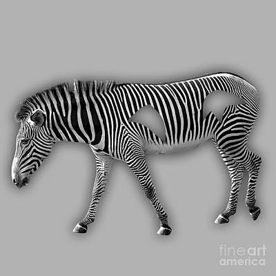 Zebra Collection Poster by Marvin Blaine
