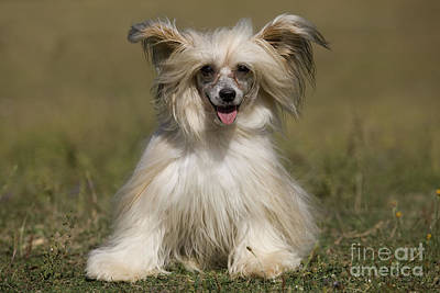 Chinese Crested Dog Poster by Jean-Michel Labat