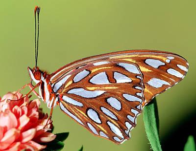 Gulf Fritillary Butterfly Poster by Millard H Sharp