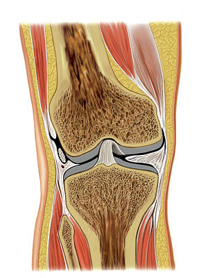 Knee Joint Poster by Asklepios Medical Atlas
