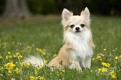 Long-haired Chihuahua Poster by Jean-Michel Labat