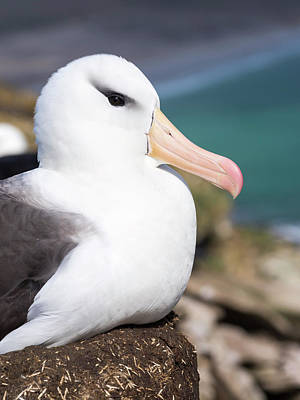 Black-browed Albatross (thalassarche Poster by Martin Zwick