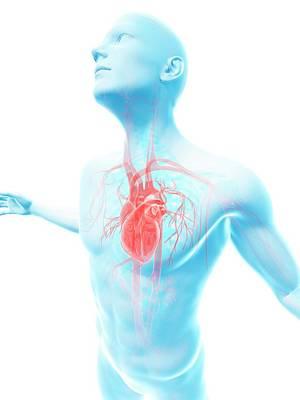 Human Vascular System Poster by Sebastian Kaulitzki