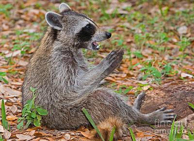Raccoon Poster by Millard H. Sharp