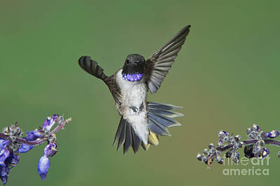 Black-chinned Hummingbird Poster by Anthony Mercieca