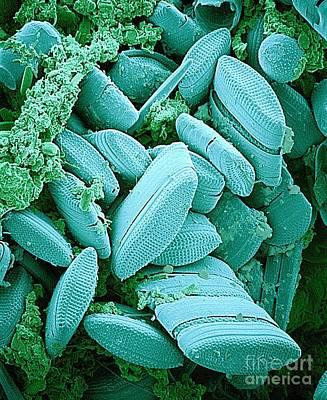Diatoms, Sem Poster by Susumu Nishinaga