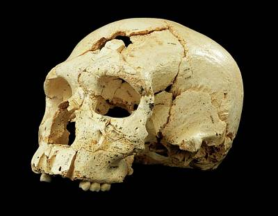 Hominin Skull From Sima De Los Huesos Poster by Javier Trueba/msf