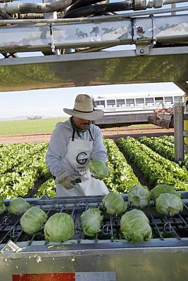 Lettuce Harvest Poster by Jim West