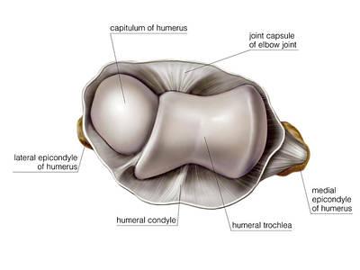 Shoulder Joint Poster by Asklepios Medical Atlas