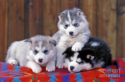 Siberian Husky Puppies Poster by Rolf Kopfle
