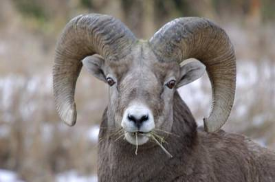 A Big Ram Caught With His Mouth Full Poster by Jeff Swan