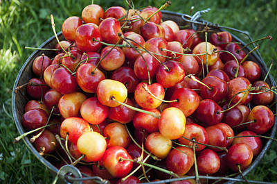 A Bucket Of Ripe Ranier Cherries Poster by Leanna Rathkelly