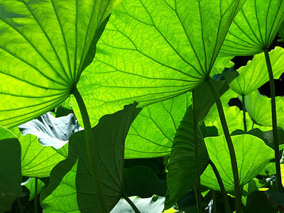 A Canopy Of Lotus Leaves Poster by Larry Knipfing