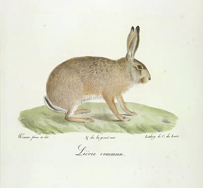 A Common Hare Poster by British Library