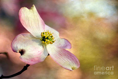 A Dogwood Bloom Poster by Darren Fisher