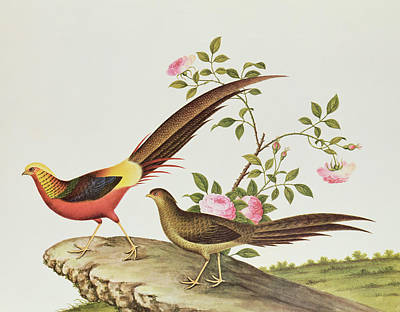 A Golden Pheasant Poster by Chinese School