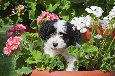 A Havanese Puppy In A Flower Pot Poster by Zandria Muench Beraldo