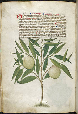 A Herbal Book Of Plants And Remedies Poster by British Library