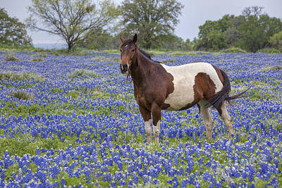 A Horse In Texas Bluebonnets In The Hill Country 2 Poster by Rob Greebon