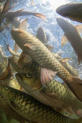 A Large School Of Mahseer Fish Poster by Scubazoo