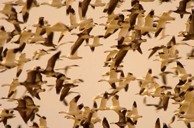 Snow Geese Poster by Jeff Swan