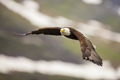 A Mature Bald Eagle In Flight Poster by Tim Grams