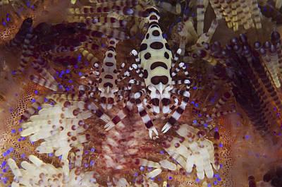 A Pair Of Colorful Coleman Shrimp Poster by Steve Jones