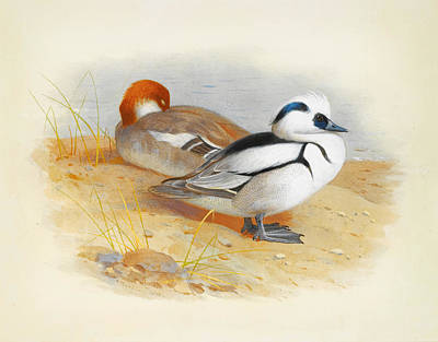 A Pair Of Smew Ducks Poster by Celestial Images