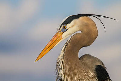 A Pensive Blue Heron Poster by Andres Leon