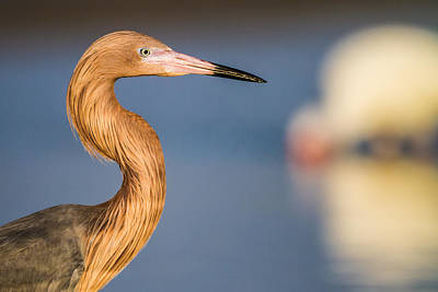 Birdwatching Poster featuring the photograph A Reddish Egret Profile by Andres Leon
