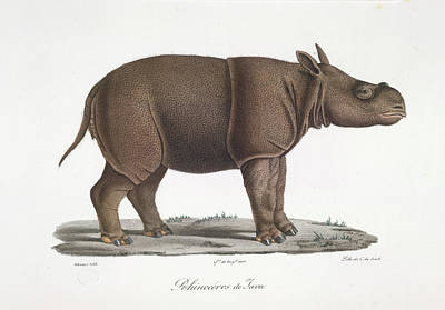 A Rhinoceros Of Java Poster by British Library