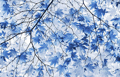 Acer Blue Poster by Tim Gainey