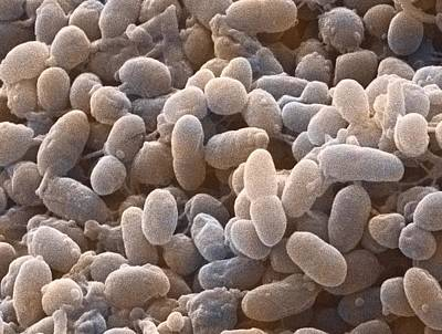 Acetobacter Bacteria, Sem Poster by Power And Syred