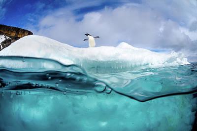 Adelie Penguin On Iceberg Poster by Justin Hofman