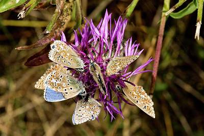 Adonis Blue Butterflies On Knapweed Poster by Bob Gibbons