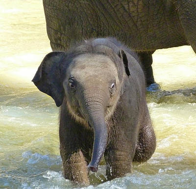 Adventurous Baby Asian Elephant  Poster by Margaret Saheed