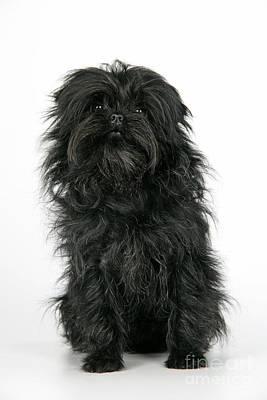 Affenpinscher Dog Poster by John Daniels