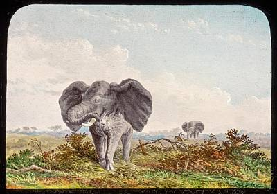 African Elephant Poster by Gustoimages/science Photo Libbrary