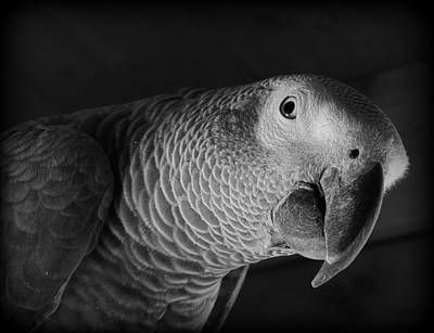 African Gray Parrot Poster by Mim White
