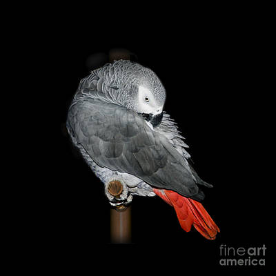 African Grey Parrot Poster by Betty LaRue
