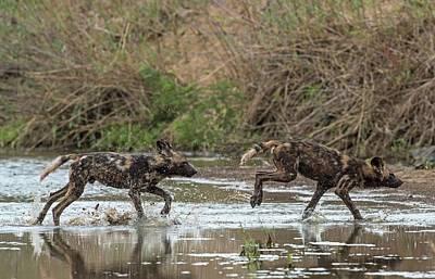 African Hunting Dog Pups At Play Poster by Tony Camacho