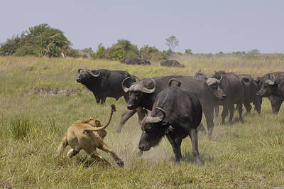 African Lion Evading Cape Buffalo Africa Poster by Pete Oxford