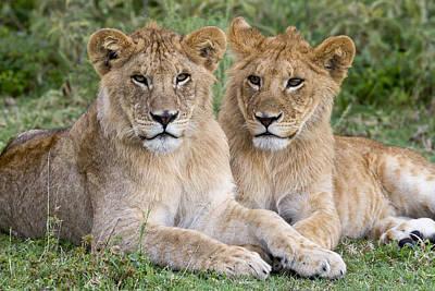 African Lion Juvenile Males Serengeti Poster by Erik Joosten