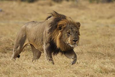 African Lion Stalking Masai Mara Kenya Poster by Hiroya Minakuchi