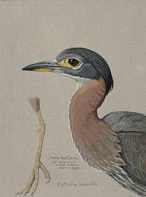 African Night Heron  Poster by Louis Agassiz Fuertes
